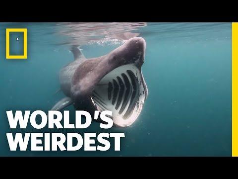 Breaching Basking Sharks