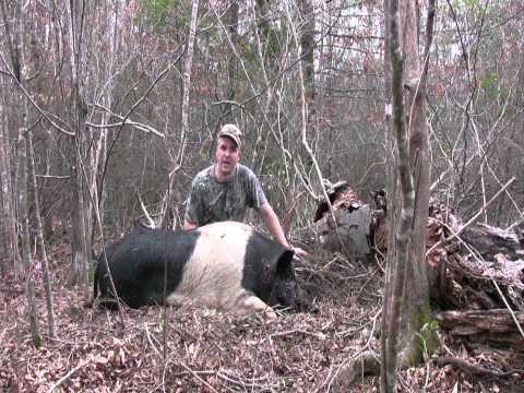 Pissed Off Charging Big Boars! 400lbs of Fury! - Wild Hog Hunting  Hog Hunting