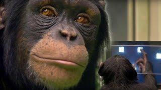 Chimp vs Human!   Memory Test   BBC Earth