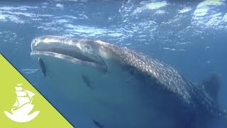 The whale shark and the humpback whale are known to be the biggest animals swimming in our seas. These giants seem to defy all previous wildlife knowledge. SUBSCRIBE and discover shocking scenes and the most amazing videos: http://goo.gl/fC5pjCFollow us in:Facebook: https://www.facebook.com/NewAtlantisD...Twitter: https://twitter.com/NewAtlantisDocu