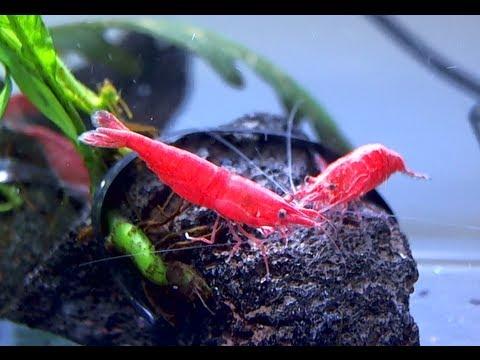 [HD] レッドファイアーシュリンプ クローズアップ Red fire shrimp