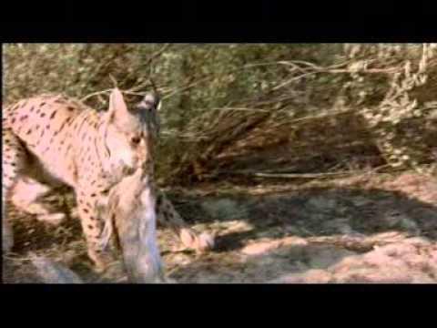 Lince Ibérico, el cazador solitario