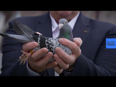 Teuerste Taube der Welt bei Auktion in Belgien für 1,2 Mio. Euro versteigert