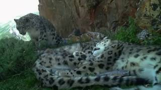 Footage filmed in Qinghai province, China, by researchers from Shan Shui Conservation Center and Peking University Center for Nature & Science, with support from Panthera and the Snow Leopard Trust.