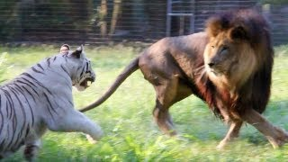 Big Cats in Slow Mo full download video download mp3 download music download