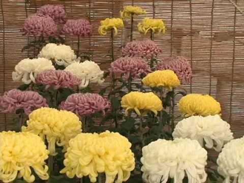 広島城大菊花展とひろしまフードフェスティバル (動画)のサムネイル写真