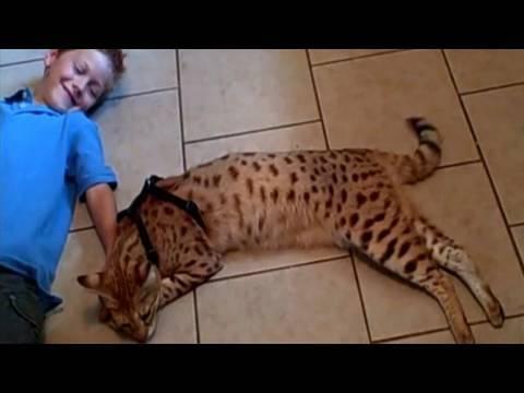 gatto bengala gioca con un bambino!