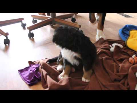 Anna AKC bernese mountain dog puppy