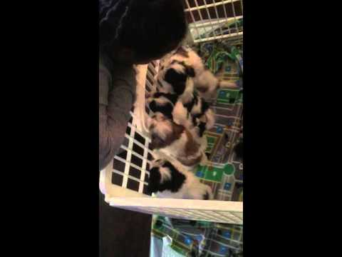 Shih Tzu Puppies excited