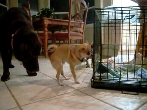 Dude the Chihuahua Protects his Food from Amber the Lab & Macy the Chihuahua
