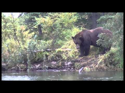 Grizzly Bear Destroys a Spruce Tree