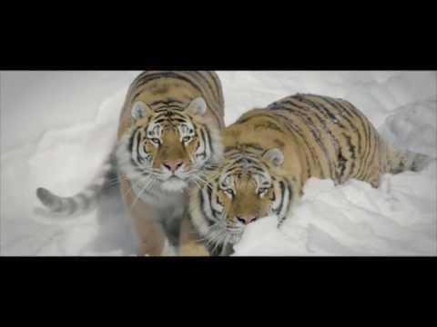 Тигры против дрона