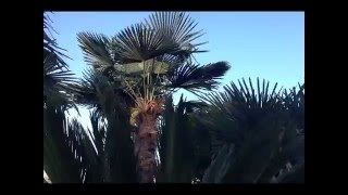 Beautiful Palms From The Palm Tree Company