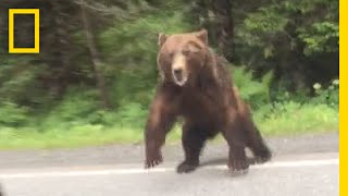 """Two people in Yakutat, Alaska, got quite a scare when a bear charged their car.➡ Subscribe: http://bit.ly/NatGeoSubscribeAbout National Geographic:National Geographic is the world's premium destination for science, exploration, and adventure. Through their world-class scientists, photographers, journalists, and filmmakers, Nat Geo gets you closer to the stories that matter and past the edge of what's possible.Get More National Geographic:Official Site: http://bit.ly/NatGeoOfficialSiteFacebook: http://bit.ly/FBNatGeoTwitter: http://bit.ly/NatGeoTwitterInstagram: http://bit.ly/NatGeoInstaThe pair saw the bear in the road and slowed down to let it cross. When they drove by the bear came barreling out of the woods at them. After the incident they drove to a nearby lodge to warn others, and they witnessed the bear chase another car on the road.Click here to read """"Startling Video Shows a Big Bear Charging at a Car"""".http://news.nationalgeographic.com/2017/07/bear-charges-car-alaska-video-spd/Watch: Bear Charges Car  National Geographic https://youtu.be/zxgUtH8sjdsNational Geographichttps://www.youtube.com/natgeo"""