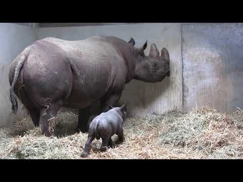 Magdeburg: Nashorn-Nachwuchs im Zoo - Spitzmaulnashorn  ...