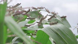 Biopesticides for Locust Control