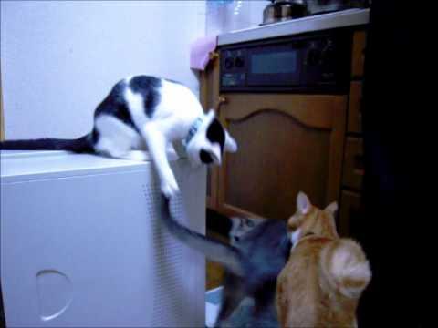 Cat trolling