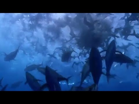 Video Shearwater Attack! - Blue Planet - BBC wildlife download in MP3, 3GP, MP4, WEBM, AVI, FLV January 2017