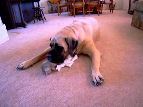 Maggie the English Mastiff vs. Dude the Chihuahua