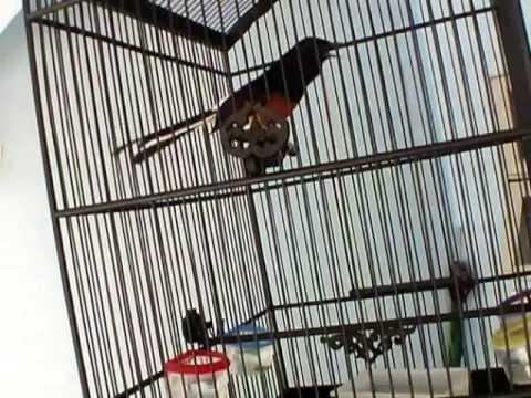 นกบินหลาดง - รางวัลชนะเลิศอันดับ 1 สนามพระยาสุเรนทร์ 37 23 มีนาคม2556.