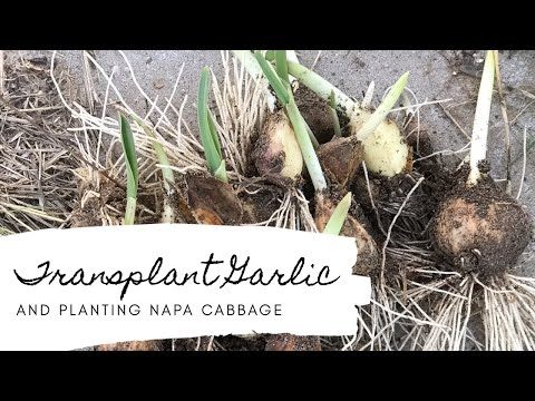 Transplanting Garlic and Planting Napa Cabbage 🌱 Gardening