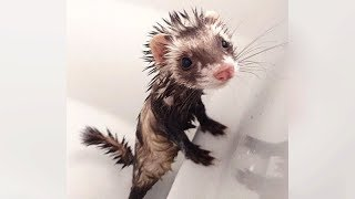 Are FERRETS FUNNIER Than CATS & DOGS? See For Yourself! - Ultra FUNNY FERRET VIDEOS