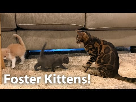 Foster kittens meet the bengals