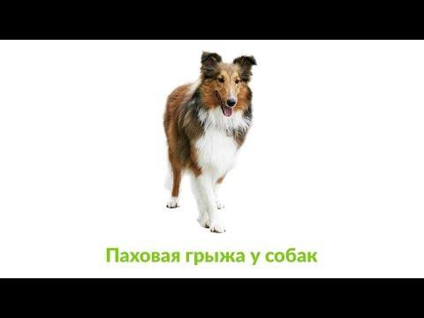Паховая грыжа у собак. Ветеринарная клиника Био-Вет.
