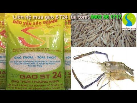 Bán gạo sạch lúa tôm ST24 (gạo Ngon Top 3 thế giới) tại TP.HCM