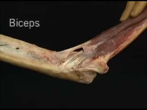 1.2.7 мышцы, которые двигают локтевой сустав (4.13)