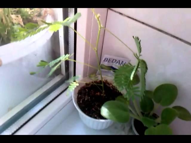 Стеснительное растение