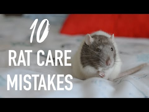Download 10 Common Mistakes Rat Owners Make Mp4 HD Video and MP3
