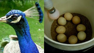 Hatching peacock eggs homemade incubator ll bucket inkubator for hatching peacock eggs #allinone