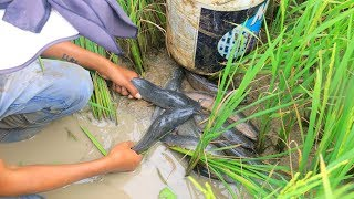 Amazing Catching a lot of Fish Catfish in Rice Field -Traditional Khmer Fishing | Fishing Skills