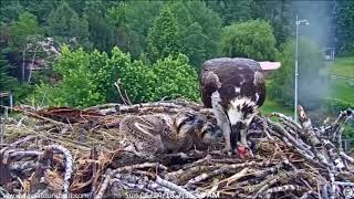 Dunrovin Ranch Osprey Nest Video_2018-06-24_083517-sm live fish 7.32 AM