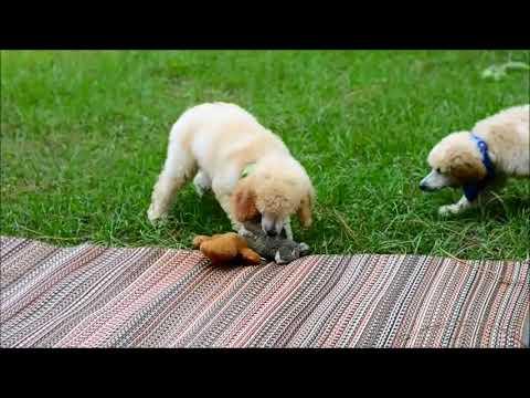 Sonny apricot Standard Poodle
