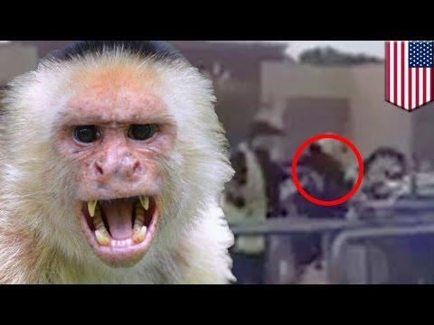 Monyet menyerang karyawan Walmart - Tomonews