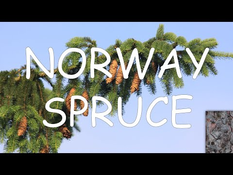 , title : 'How to identify a Norway spruce (Picea abies) | TREE ID #11