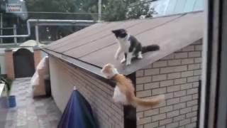 Смешные коты. Кот упал об стену.