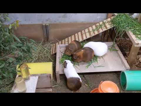 【天王寺動物園】テンジクネズミたちのバックヤードの様子