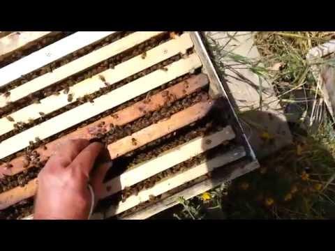 Пчеловодство. мой первый пчелиный рой 6