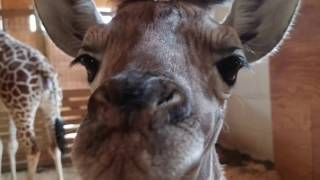 Beautiful picture of the baby Giraffe - Tribute to Animal Adventure Park