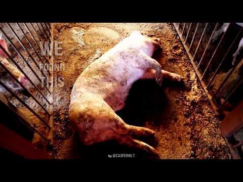 Exposing the hell on a random pig factory