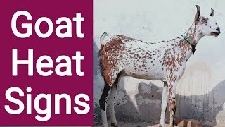 Goat Breeding time | Goat breeding season | Goat breeding in