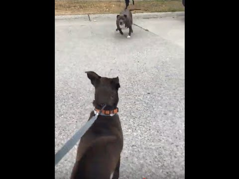 Dog walker charged by unleashed pitbull while walking 5 dogs, handles it like a boss!