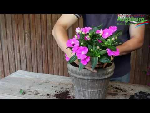 Edellieschen - Einpflanzen in ein Gefäß