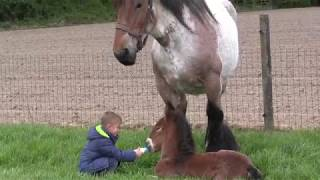 Belgian Draft Horses: breeding mare,foal,little boy and young girl