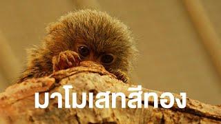 สารคดีสำรวจโลก ตอน ลิงมาโมเสทสีทองแห่งป่าฝน