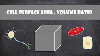 Cell Surface Area: Volume Ratio | Cell Biology