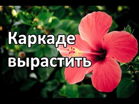 Каркаде вырастить цветок